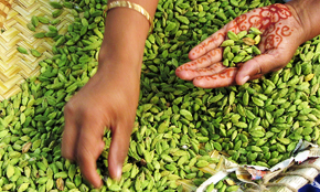hand picked superior cardamom
